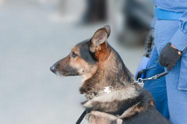 【新型コロナウィルス】犬の嗅覚によってコロナ感染者を判別可能?犬の嗅覚でマラリアやパーソンキン病は判別可能!