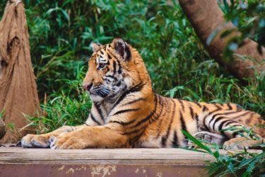 【多摩動物公園が再開】ライオンバスやコアラ館は休止中!赤ちゃん初の動物園の反応は?